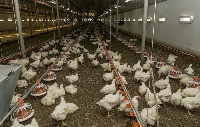 В Октябрьском районе Ростовской области обнаружен вирус птичьего гриппа