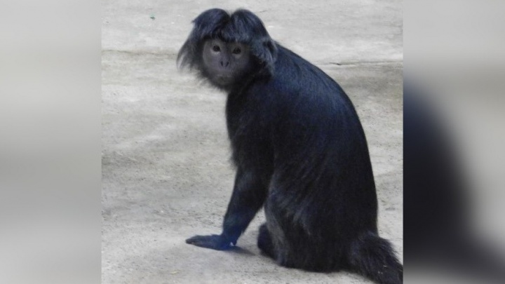 «Лесные человечки»: в пермский зоопарк привезли пару яванских лангуров