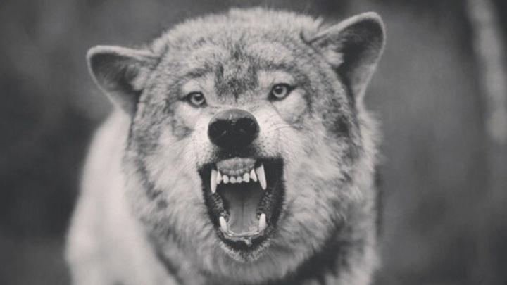Правительство Поморья выделило деньги на выплаты за добычу волков