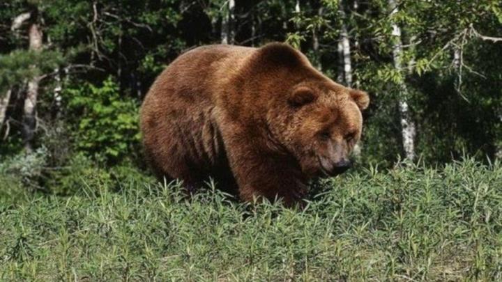 Поселок в Плесецком районе атаковали медведи и волки