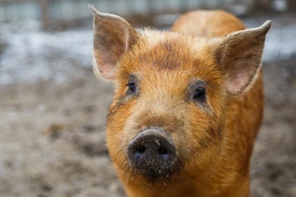 В угрожаемой зоне подлежит уничтожению все свинопоголовье