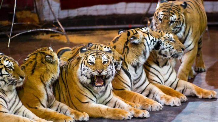 С жаркой Суматры в суровый Челябинск: дюжина  королевских тигров заворожила горожан