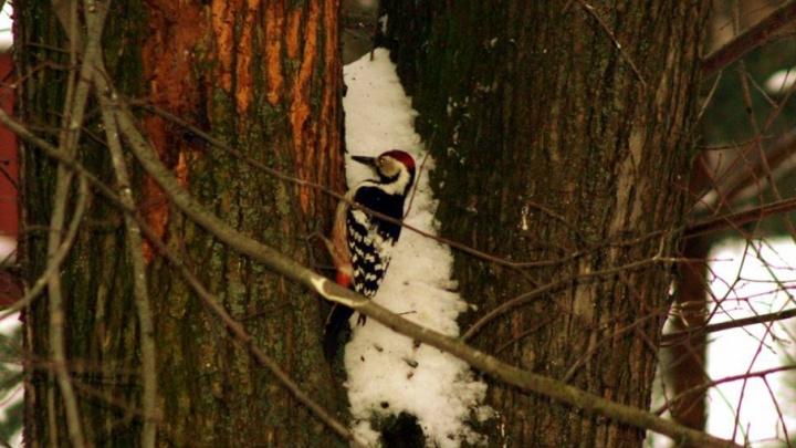 В центре Ярославля дятлы начали лечить деревья