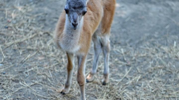 Родившегося в ростовском зоопарке малыша гуанако назвали Янушем