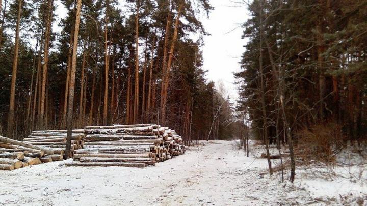 Новая дорожка или опасные насаждения: в челябинском бору снова вырубают деревья
