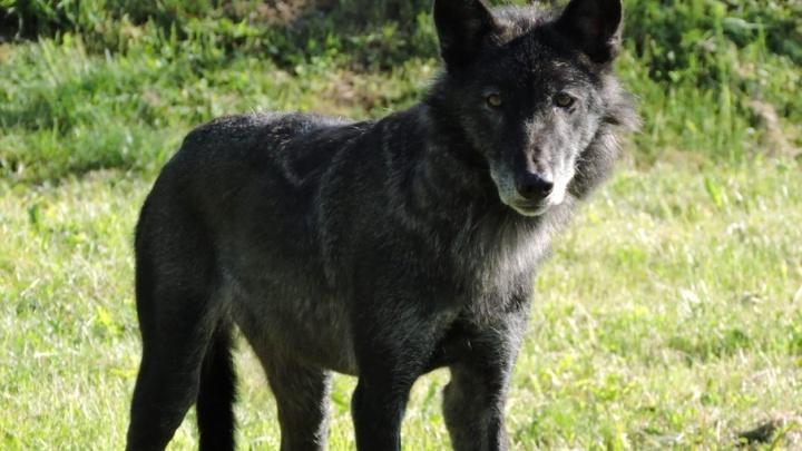 В ярославском зоопарке канадские волки обзавелись потомством