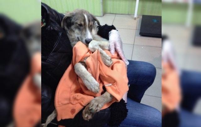 Руководство пермского муниципального приюта: щенки пострадали в драке