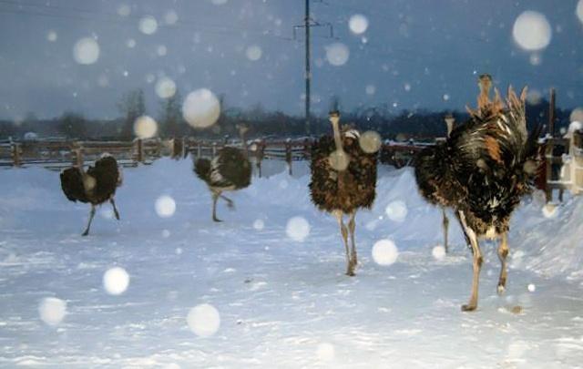 Такое хозяйство нужно самому: страусиную ферму под Челябинском передумали продавать