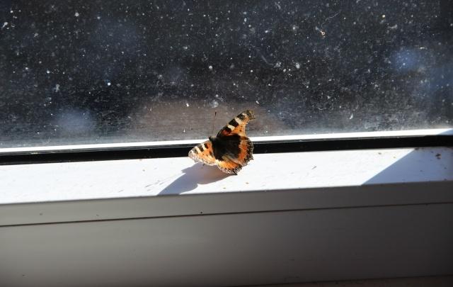 В Ярославле проснулись первые бабочки
