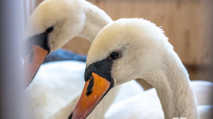 «Осторожно, лебедь может сломать руку»: самарцам показали, как краснокнижные птицы обжились в новом доме