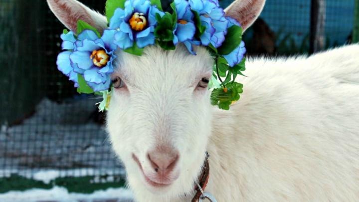 Главный самарский оракул ЧМ коза Забияка станет мультяшным персонажем