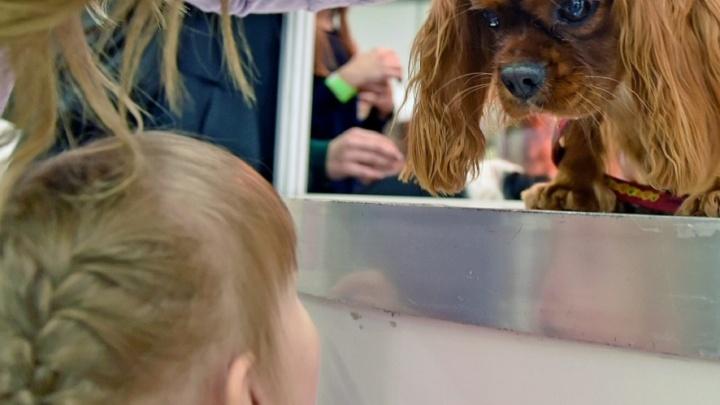 Перед годом Жёлтой Собаки: пермские заводчики рассказали о повышении спроса на щенков