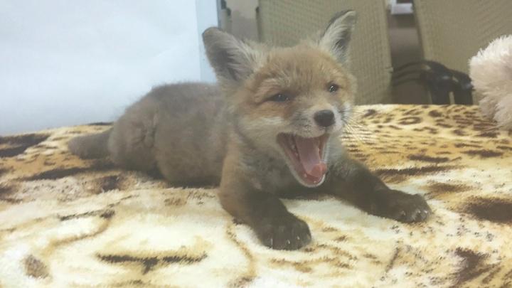 Ветеринары челябинского зоопарка выходили лисёнка, потерявшего семью