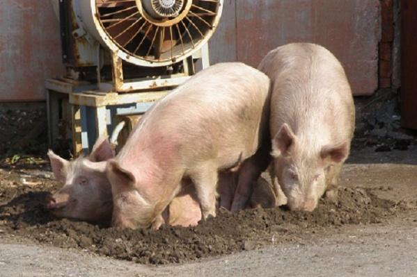 Африканская чума свиней не опасна для человека и других животных