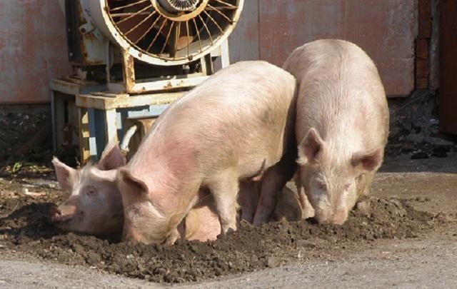 Полиция изымает мясо из холодильников: в Тюменской области нашли африканскую чуму свиней