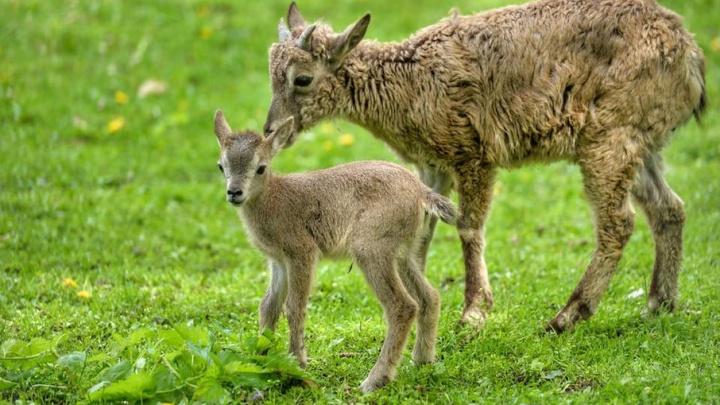 В зоопарке Ростова за две недели родились семь муфлонов и два голубых барана