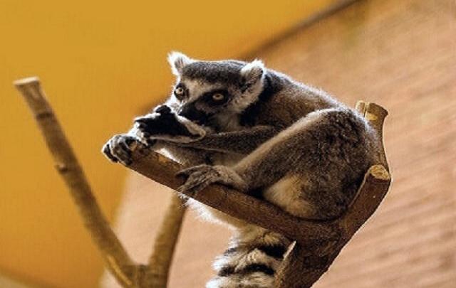 В ростовском зоопарке родился лемур