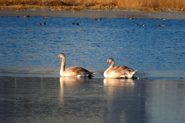Молодые лебеди на льду пруда «Коммунар»