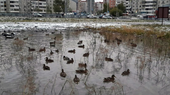 В луже на улице Янтарной поселились утки-мигранты
