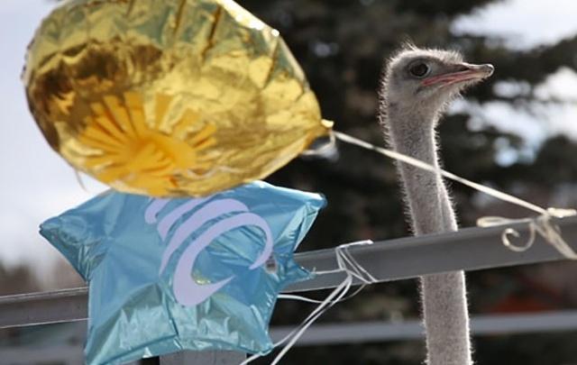 Что наклёвывается на лето: страусы в челябинском зоопарке предсказали погоду