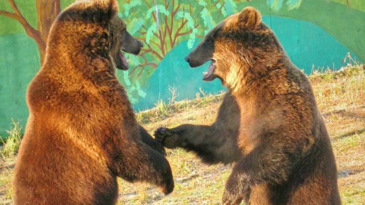 В ярославском зоопарке проснувшихся Умку и Топтыжку накормят тортом