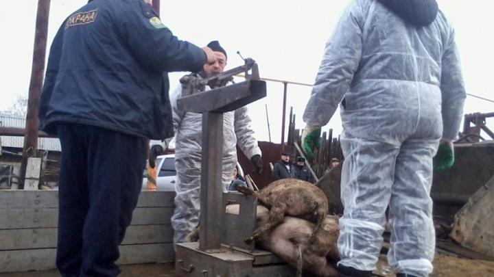 «Как в зоне радиации»: в Тимирязевском после вспышки африканской чумы уничтожили всех свиней