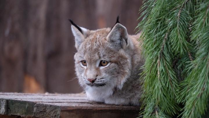 Рысята и харза: любуемся новыми животными пермского зоопарка