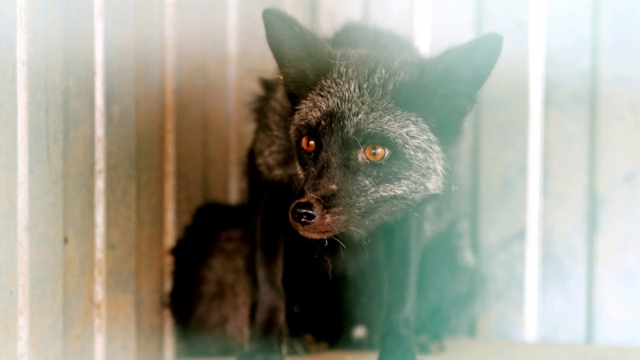 В зоопарке приютили редкого лиса, которого обвинили в убийстве деревенских куриц