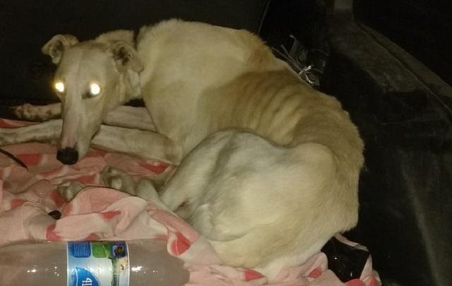 Тюменские зоозащитники ищут хозяев породистого пса, найденного на трассе