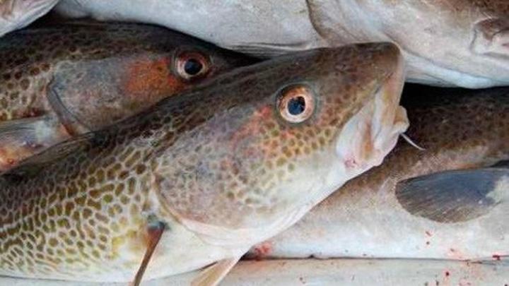 Не пригодившиеся ученым треска и пикша достанутся поморским рыбакам