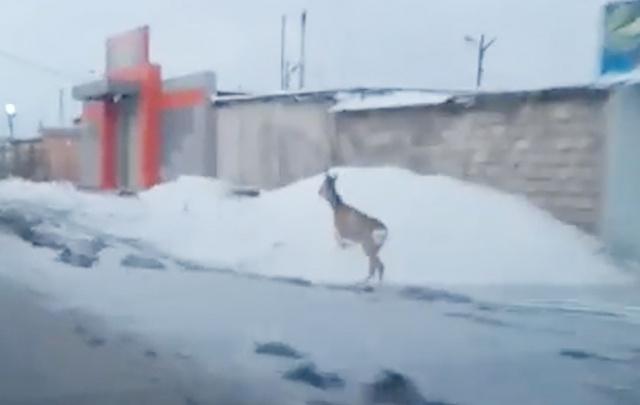 Косуля, скачущая вдоль дороги в Миассе, попала на видео