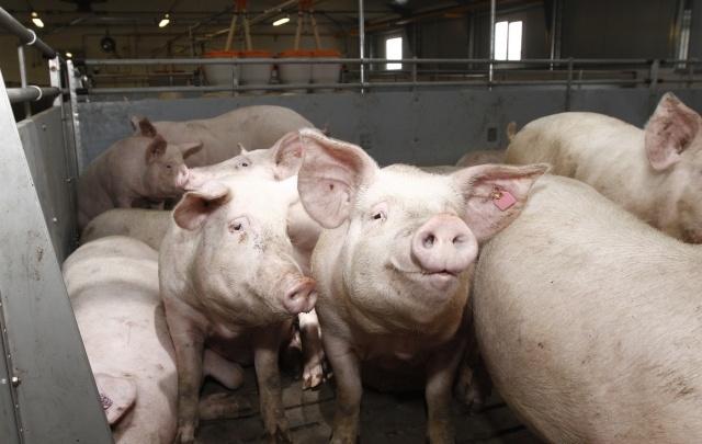 В Самарской области уничтожают поголовья свиней в зоне риска заражения африканской чумой