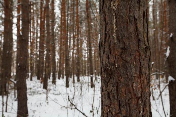 Если большинство присутствующих на слушаниях проголосует за создание зеленого пояса, то леса, окружающие Тюмень, будут защищены от вырубки