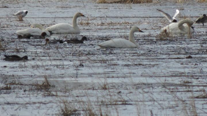 Стая лебедей прилетела в деревню Повракула