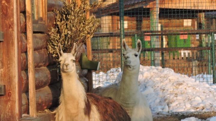 В Ярославском зоопарке выбирают самую романтичную пару животных