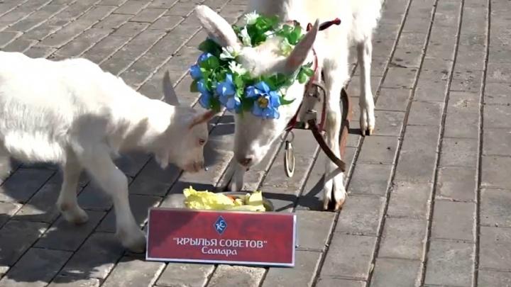 Самарский оракул ЧМ-2018 коза Забияка предсказала результат матча «Крылья Советов» — «Факел»