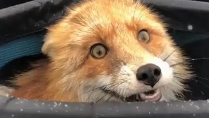Поделился уловом: пермяк снял на видео лису-воровку, которая забралась в сумку и съела всю рыбу