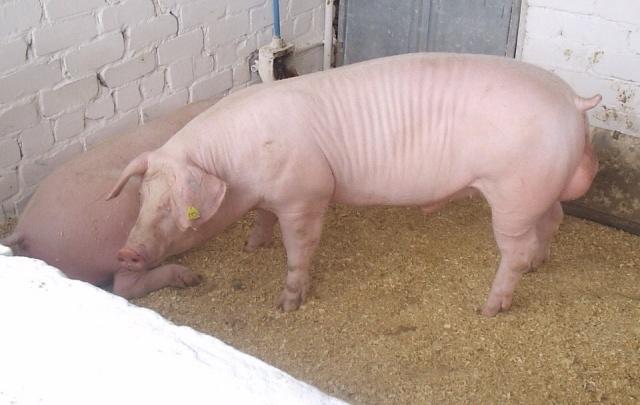 Пермский свинокомплекс получит субсидию из федерального бюджета