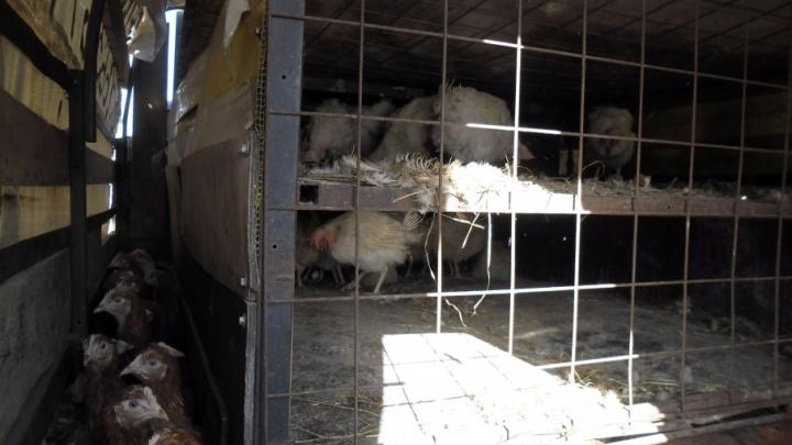 Сняли цыпочек на трассе: под Переславлем задержали грузовик с курами