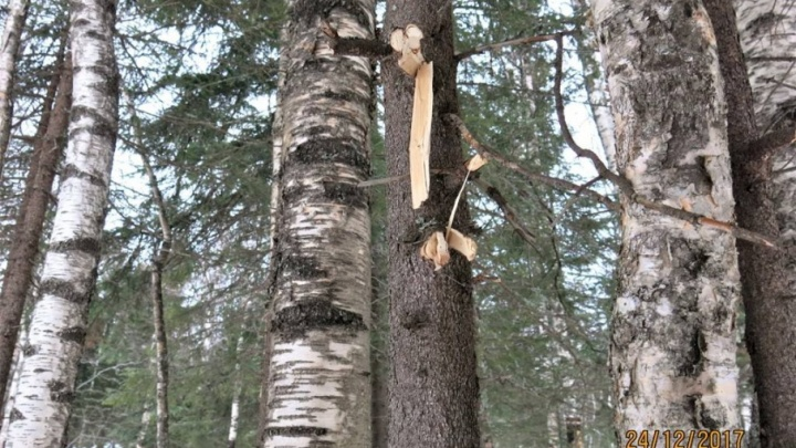 Зачем-то построили шалаш: на Таганае молодые туристы срубили 15 деревьев