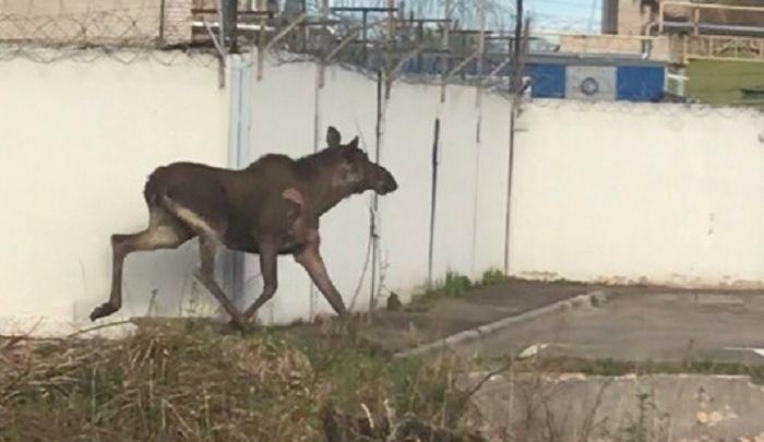 Бегал и искал выход: в Рыбинске лось забежал на территорию завода