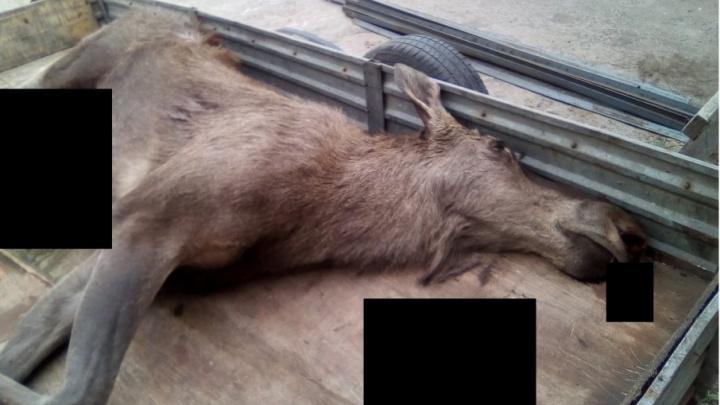 В Самарской области браконьер в лесу убил лосиху-маму