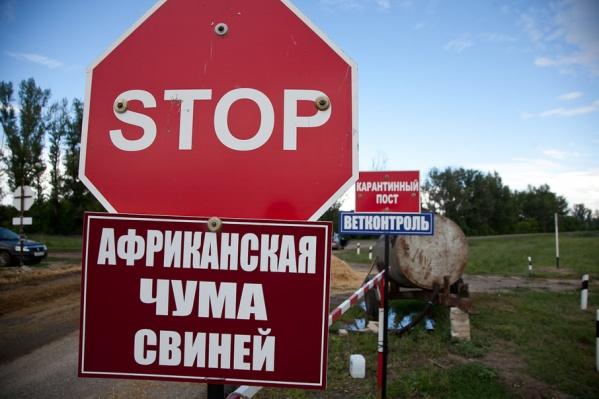 Выявлявшаяся во многих районах области чума свиней добралась до Волгограда