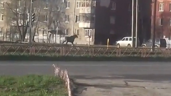 По улицам Ярославля прогулялся лось: видео
