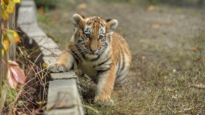 Ростовчане выбрали имя тигренку