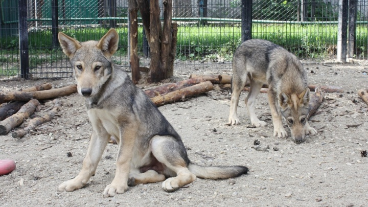 Волчатам, родившимся в челябинском зоопарке, дали геройские имена