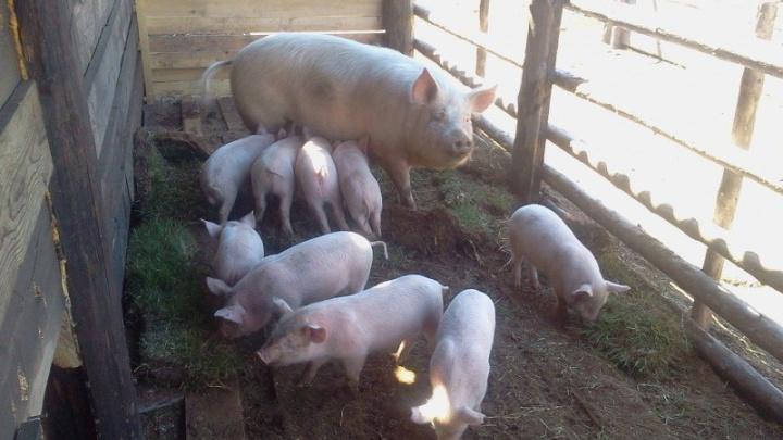 В Поморье полностью сняли карантин по африканской чуме свиней