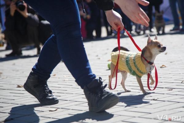 Похитительница покусилась на маленькую собаку