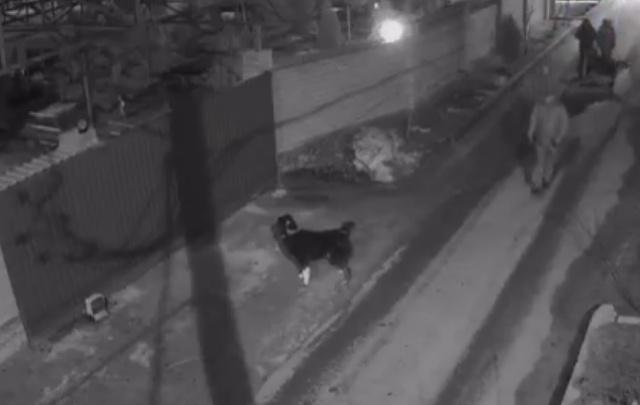Кавказская овчарка набросилась на ворота волгоградского экс-депутата Андрея Попкова
