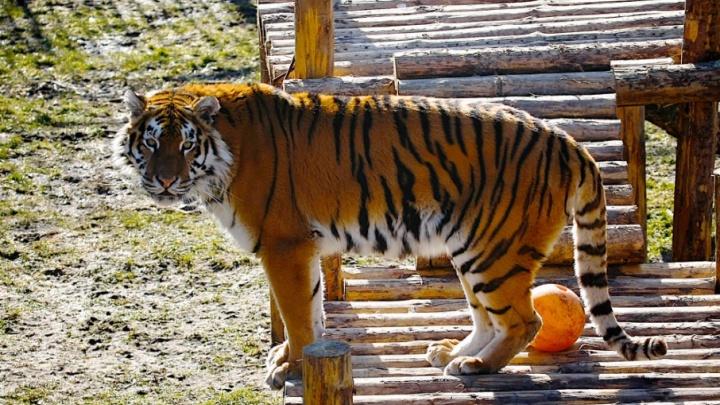 Тигр из челябинского зоопарка напал на женщину